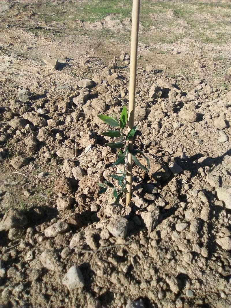 Crecimiento de plantones olivo - Página 12 Planty10