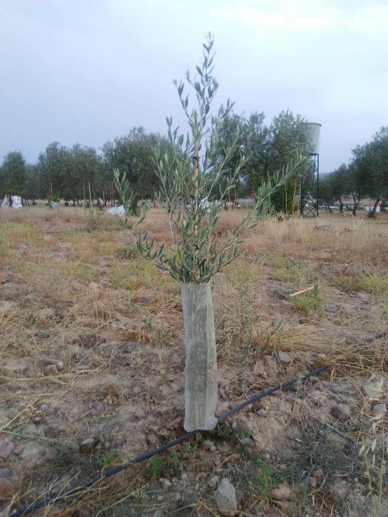 Crecimiento de plantones olivo - Página 12 Planty11