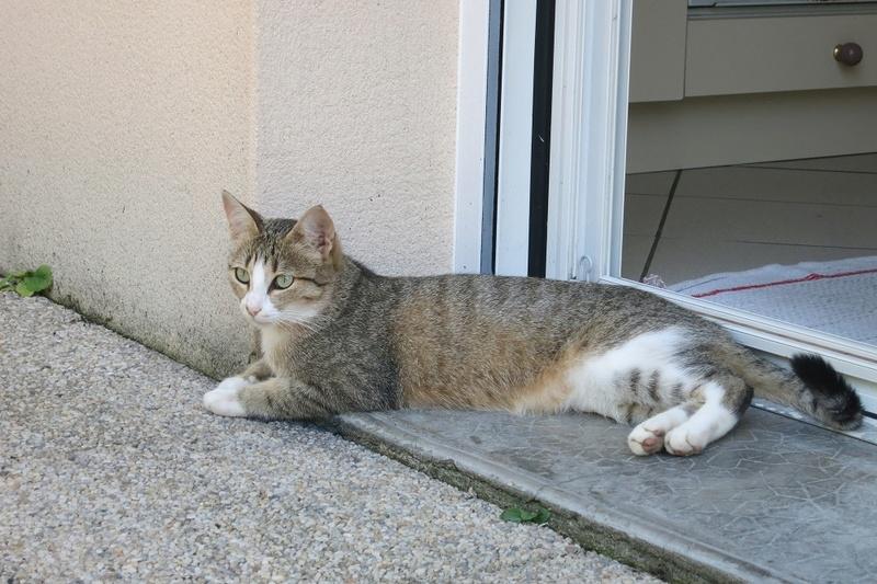 MALIKI, chatte européenne tigrée & blanche, née en mai 2016. Maliki14