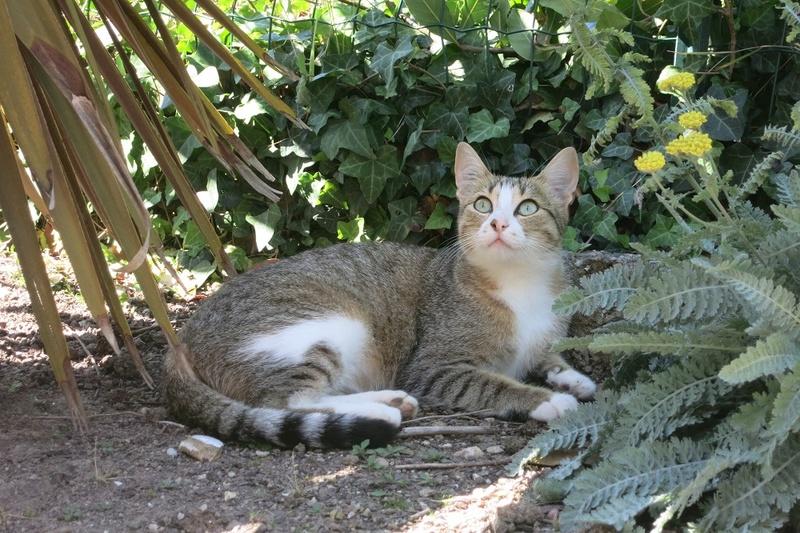 MALIKI, chatte européenne tigrée & blanche, née en mai 2016. Maliki15
