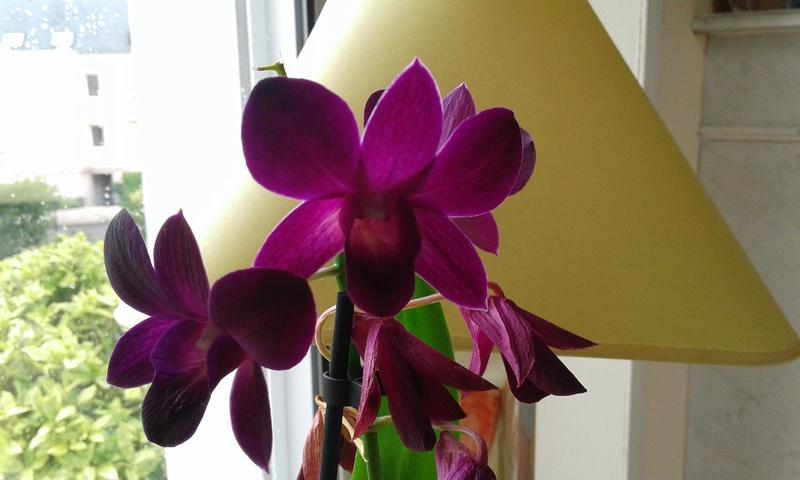 Orchidée non identifiée  15005410