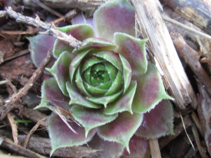 Mes plantes grasses Img_0057