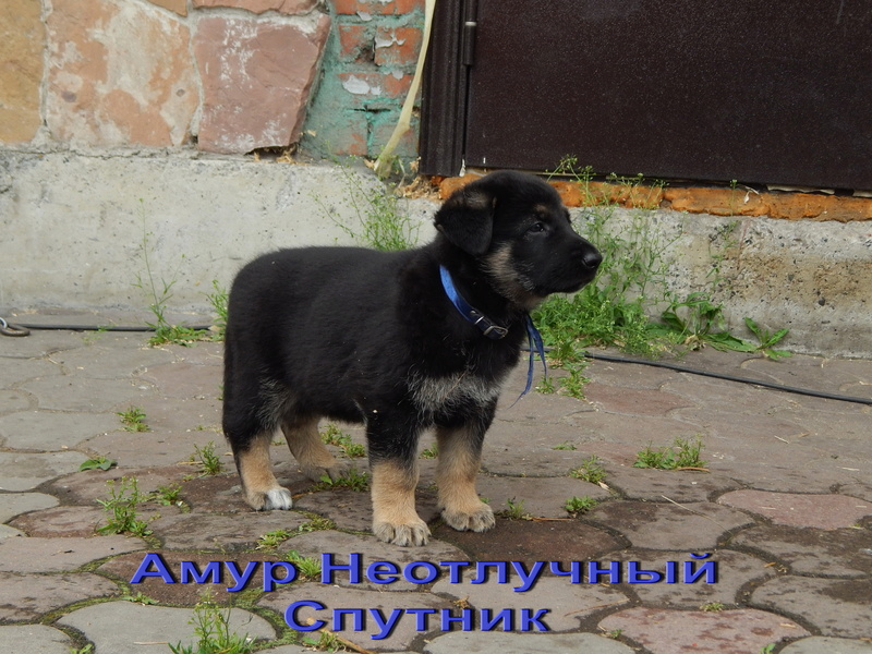 Восточноевропейской овчарки -щенки! Dscn1411
