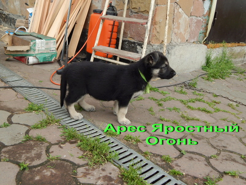 Восточноевропейской овчарки -щенки! Dscn1414