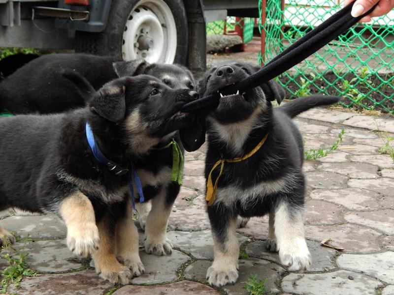 Восточноевропейской овчарки -щенки! Dscn1610
