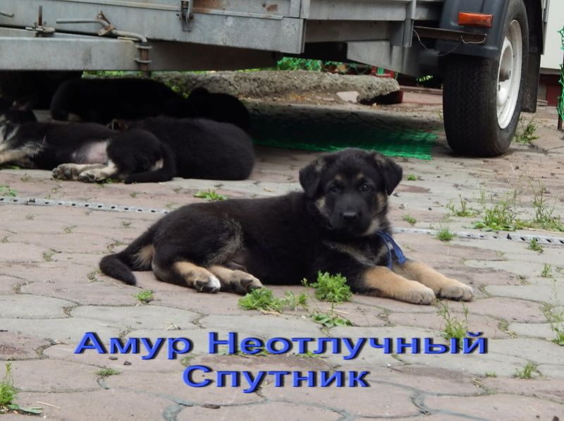 Восточноевропейской овчарки -щенки! Dscn1810