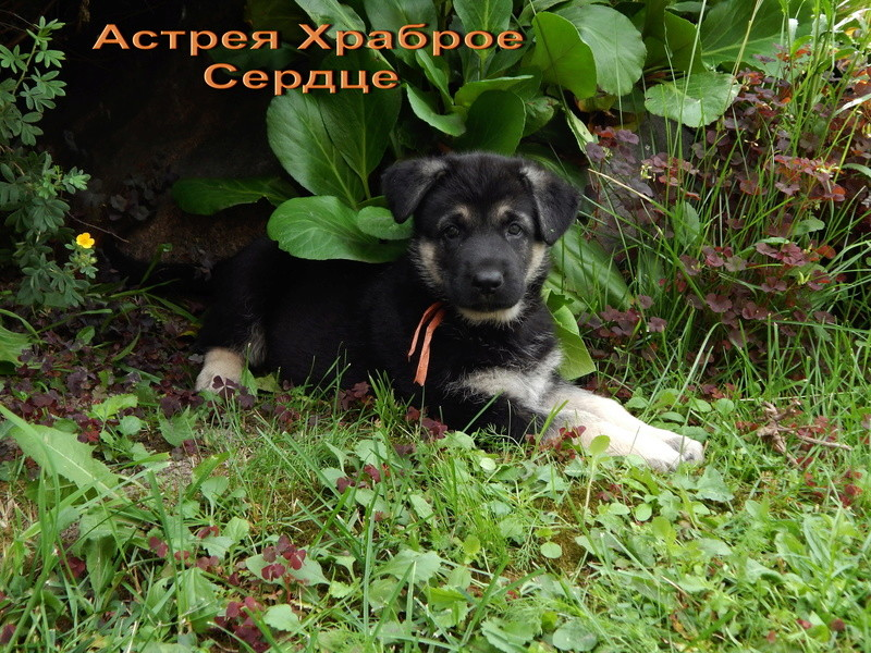 Восточноевропейской овчарки -щенки! Dscn2110