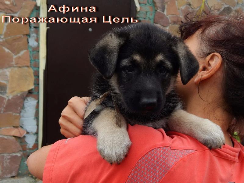 Восточноевропейской овчарки -щенки! Image_10