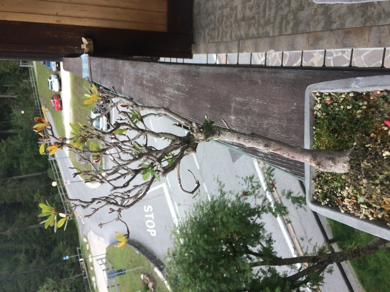 Azalea foglie gialle Img_4310