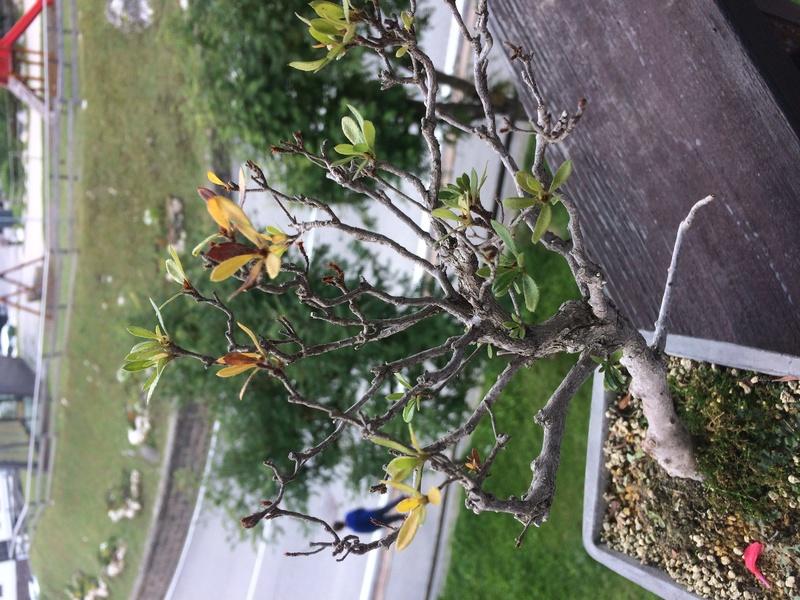 Azalea foglie gialle Img_4311