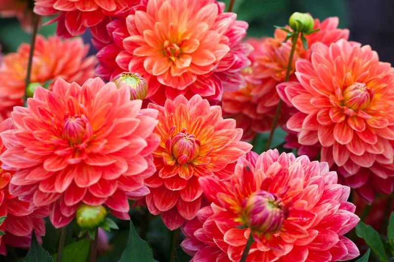 Fleurs de saison - Page 4 Dahlia10