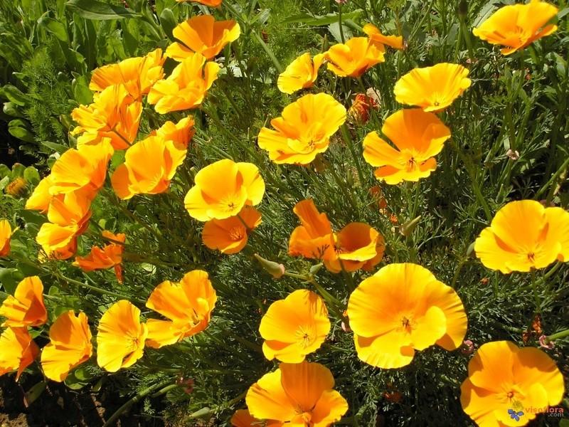 Fleurs de saison - Page 4 Eschol10