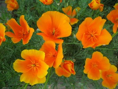 Fleurs de saison - Page 4 Pavot-10