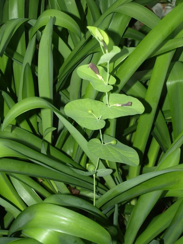 Aristolochia rotunda - aristoloche à feuilles rondes Aristo11