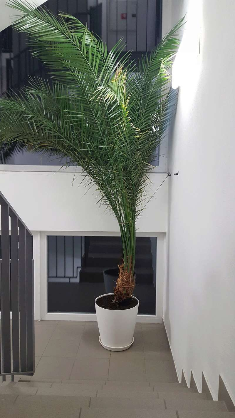 Nestabilna palma v kvetinaci 20170617