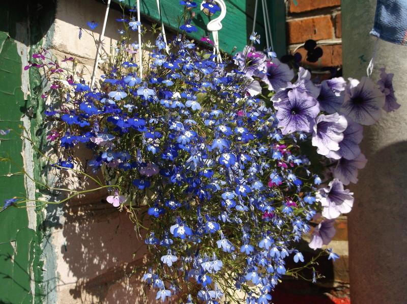 Моё цветочное богатство - Страница 32 Eia-ie11