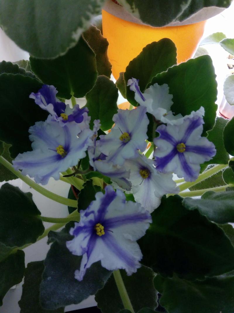 Моё цветочное богатство - Страница 32 Zeaoae10