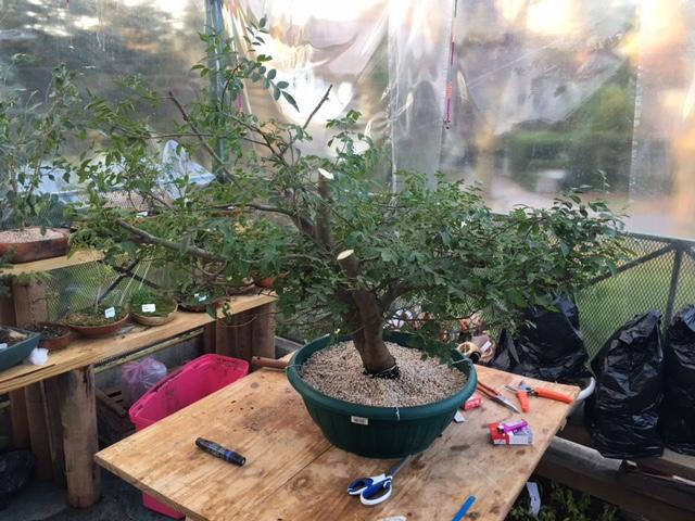 Mi primer Yamadori y no se que planta es Img_6711