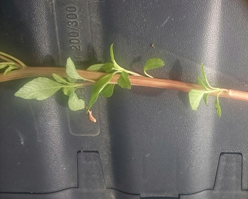 Quel est cette plante ? Une amarante ou une mauvaise herbe sans reel interet ? _2017013
