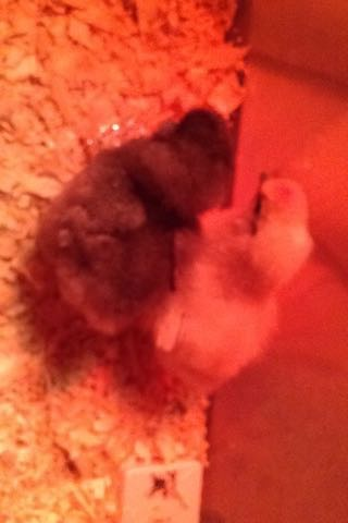 Silkie Chicks! <3 :D Image38