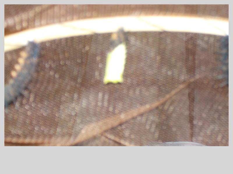 Elevage de chenilles de paon du jour Dscn0810