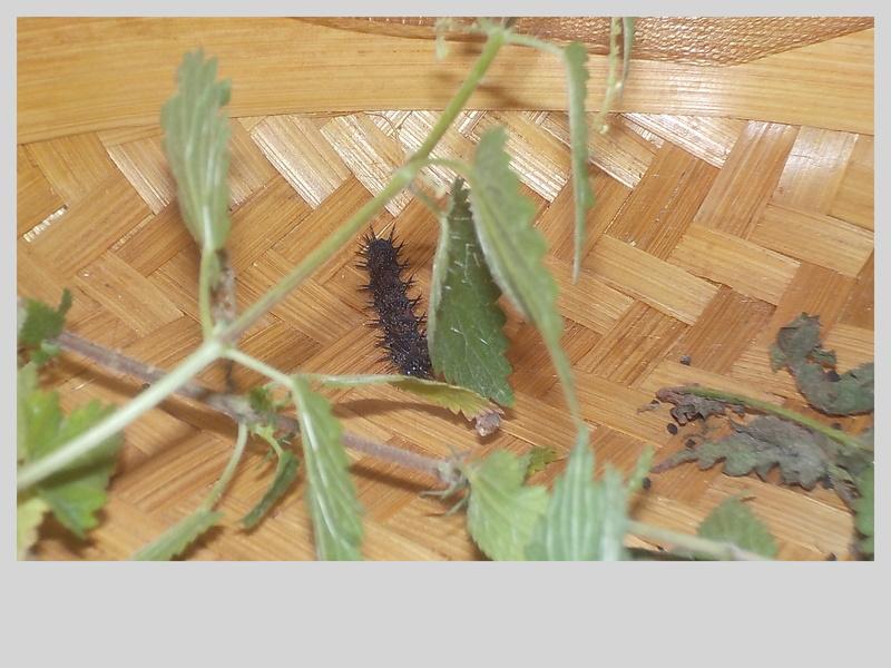 Elevage de chenilles de paon du jour Dscn0816