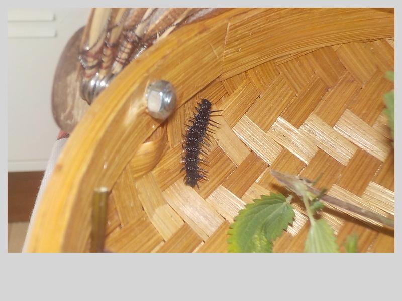 Elevage de chenilles de paon du jour Dscn0817