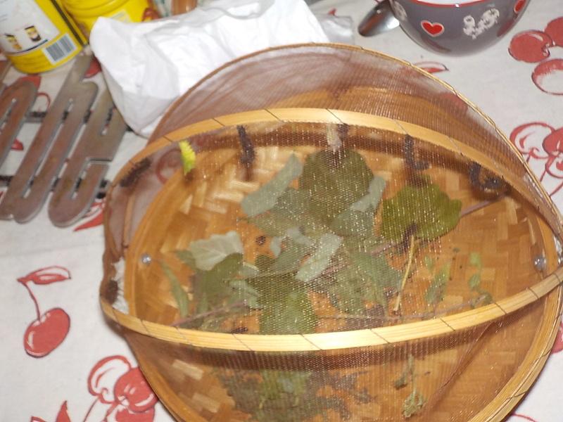 Elevage de chenilles de paon du jour Dscn0818