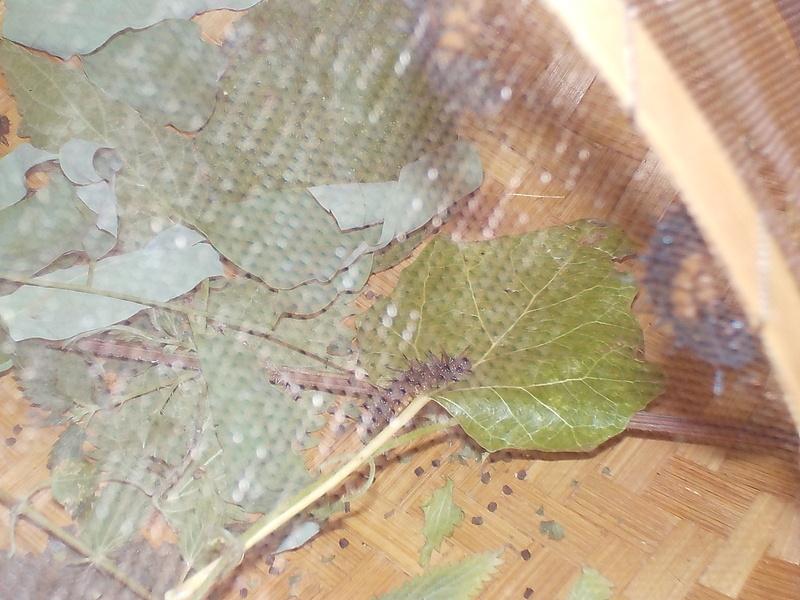 Elevage de chenilles de paon du jour Dscn0820