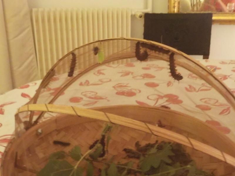 Elevage de chenilles de paon du jour Dscn0821