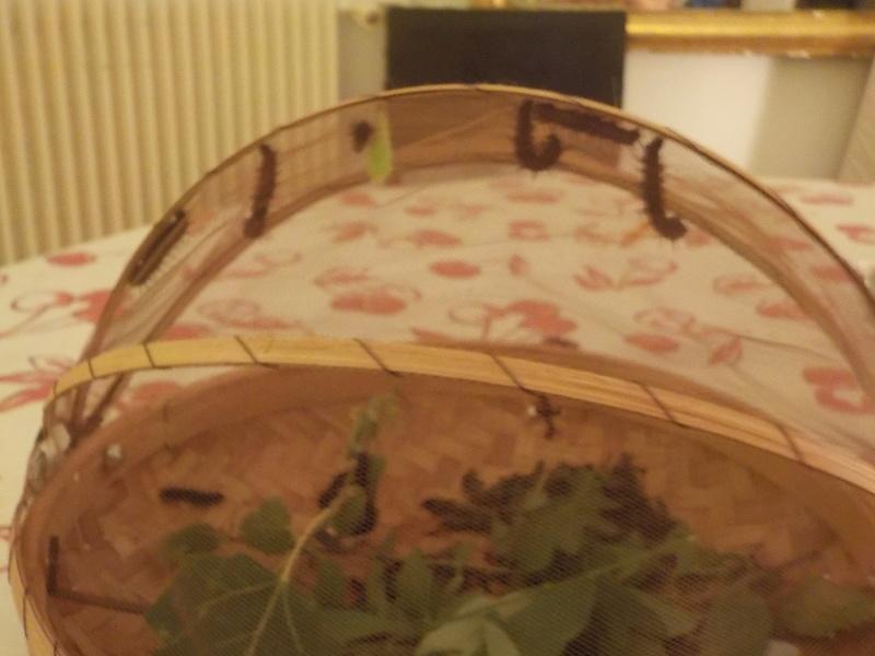 Elevage de chenilles de paon du jour Dscn0822