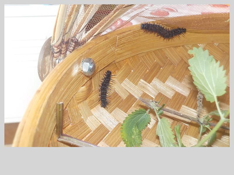 Elevage de chenilles de paon du jour Dscn0823