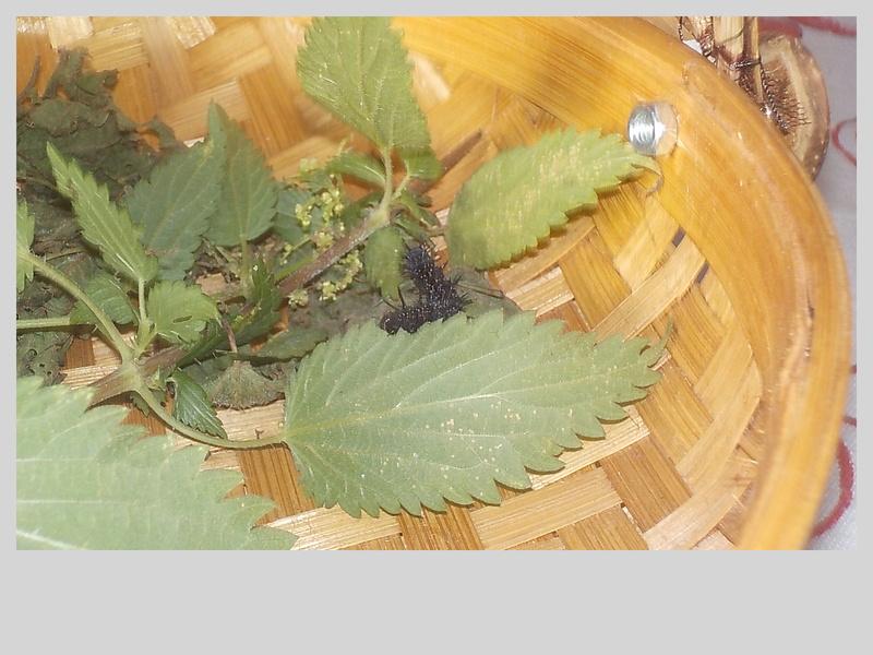 Elevage de chenilles de paon du jour Dscn0824