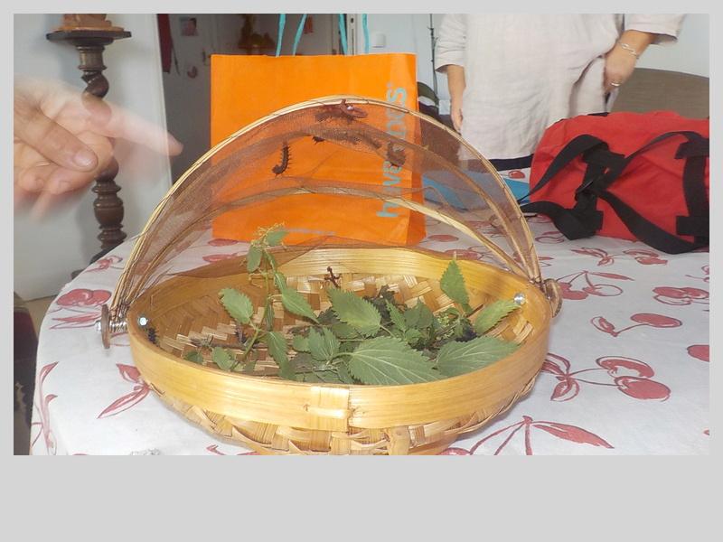Elevage de chenilles de paon du jour Dscn0826