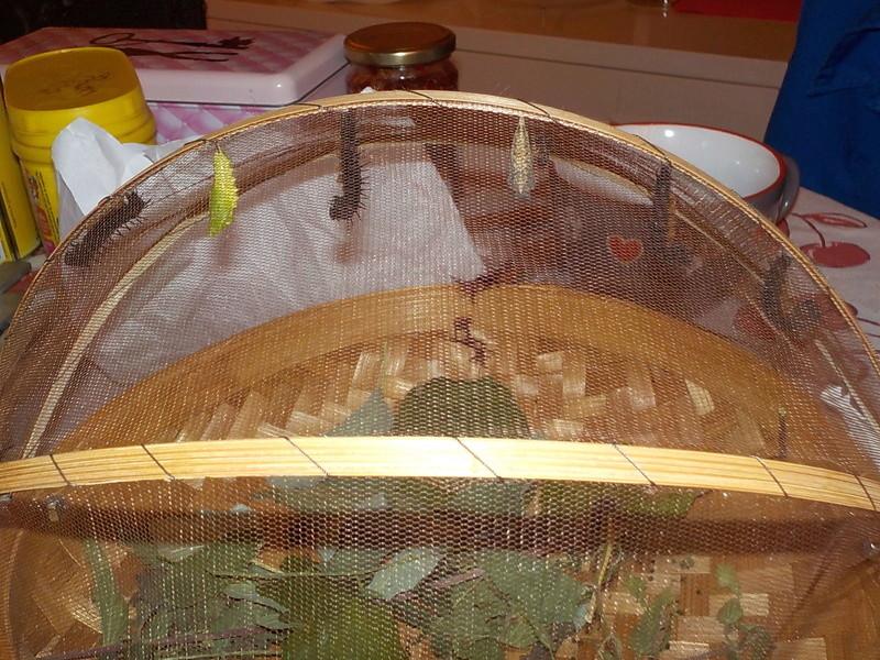 Elevage de chenilles de paon du jour Dscn0832