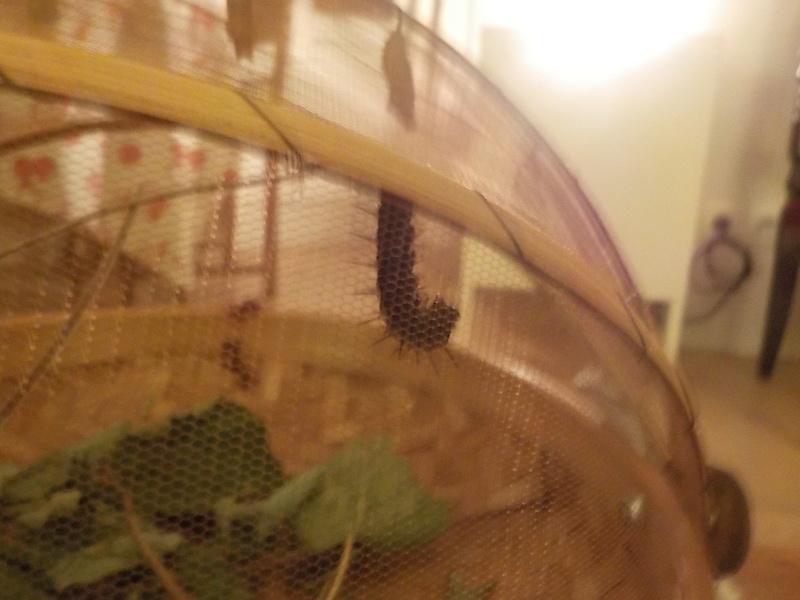 Elevage de chenilles de paon du jour Dscn0833