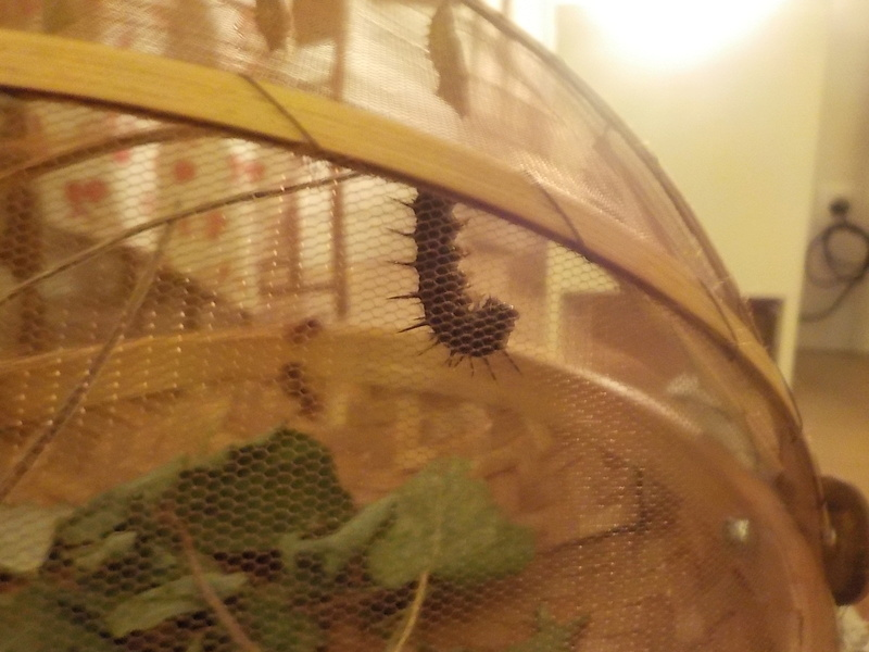 Elevage de chenilles de paon du jour Dscn0836