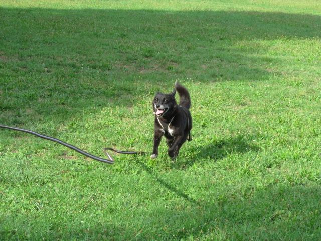 BULI (ex TZUMPI), mâle croisé labrador né en 2010 - en FA à Pascani - Adopté PAR SYBILLE (depart67) - Page 2 Img_3011