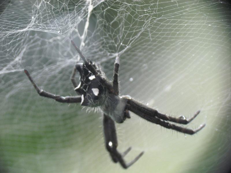 Araña ¿posible Uloboridae? Aracni10
