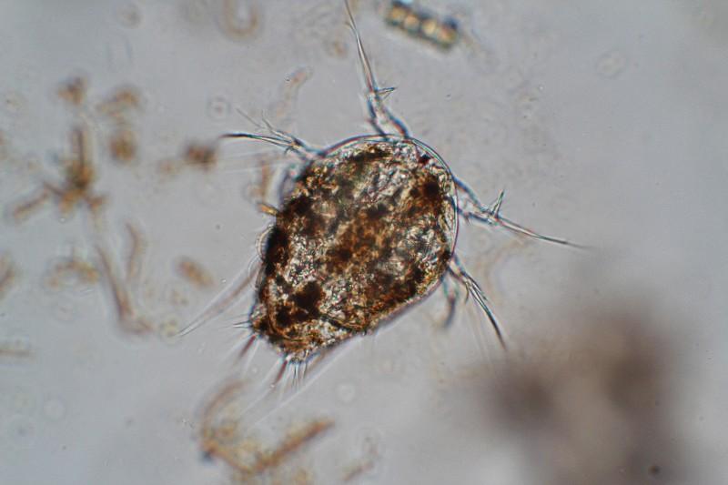 Consejos para compra de microscopio amateur Naupli10