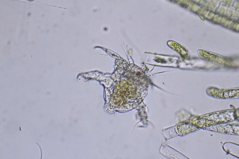 Consejos para compra de microscopio amateur Naupli11
