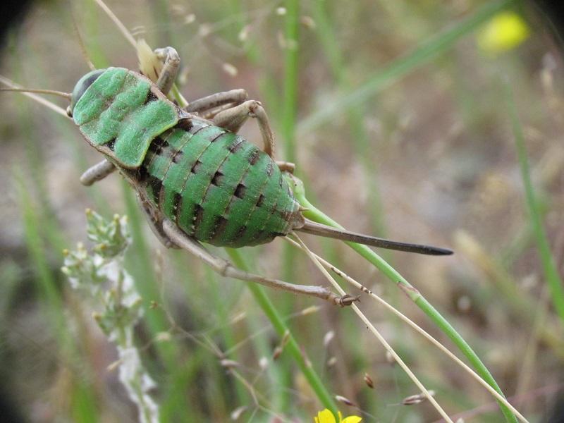 Ortóptero hembra del género Pycnogaster Pycnog11