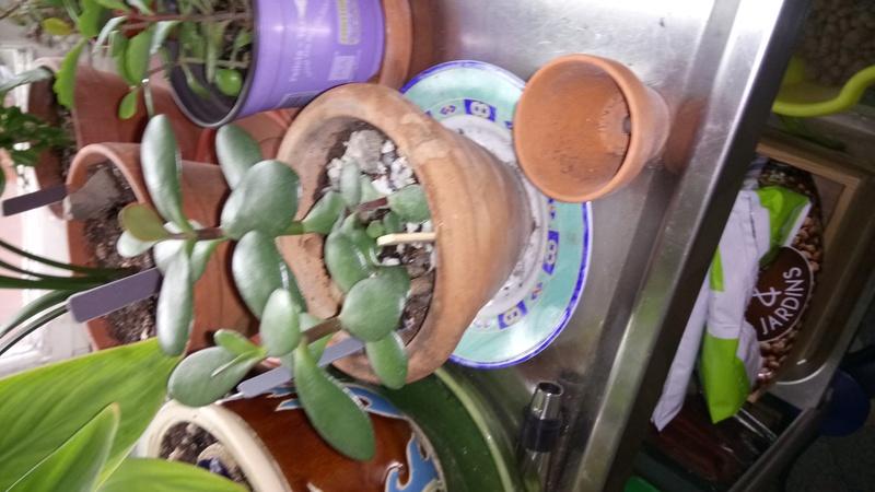 Comment arrosez vous vos succulentes et cactus????? Dsc_0012