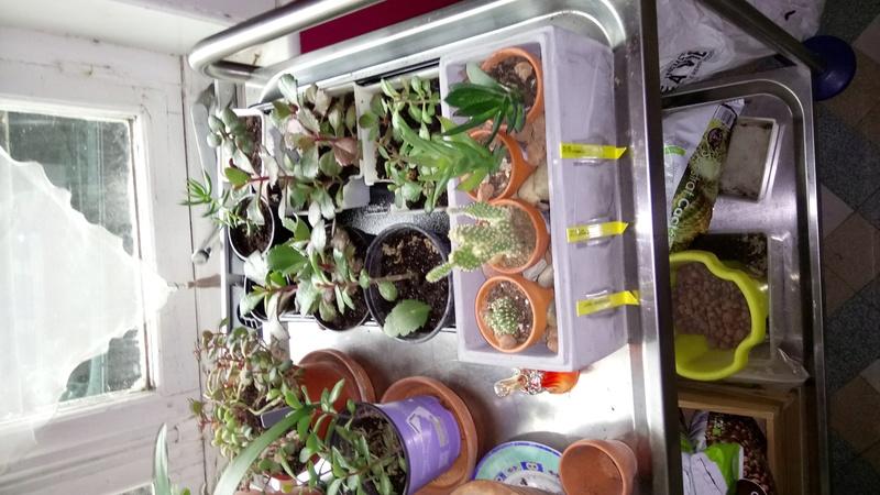 Comment arrosez vous vos succulentes et cactus????? Dsc_0013