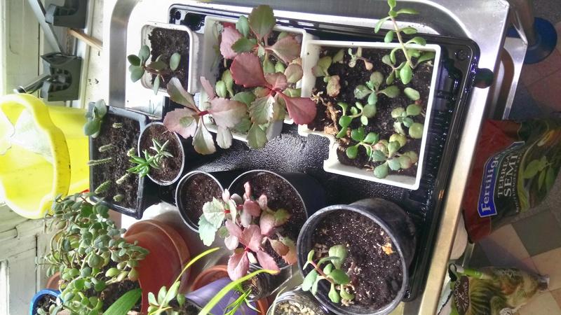 Comment arrosez vous vos succulentes et cactus????? Dsc_0015