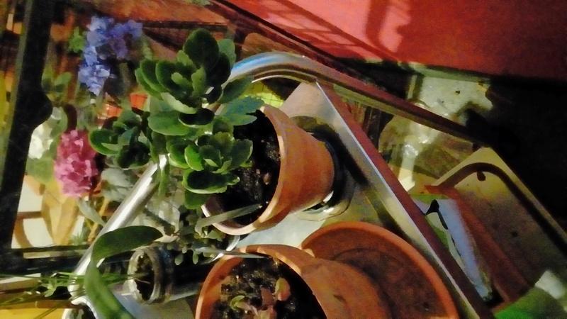 Comment arrosez vous vos succulentes et cactus????? P_201741
