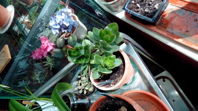 Comment arrosez vous vos succulentes et cactus????? P_201742