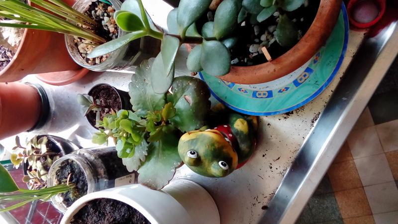Comment arrosez vous vos succulentes et cactus????? P_201743