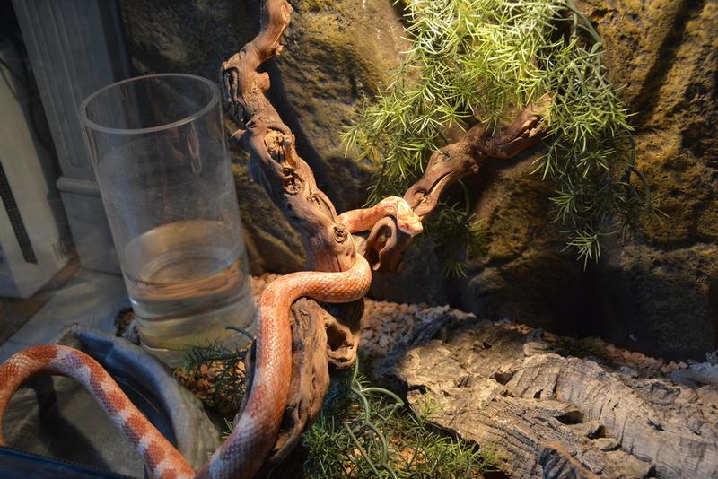 a ceder serpent des blé et vivariuim   neuilly sur seine Neu_6611