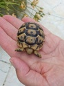 tortue greque ou hermann Img-2010